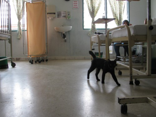 A cat walks into a hospital...