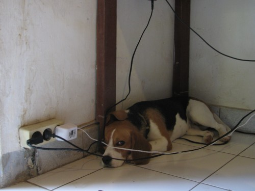 Polly under desk, Andong Road, Ubud, Bali, Indonesia